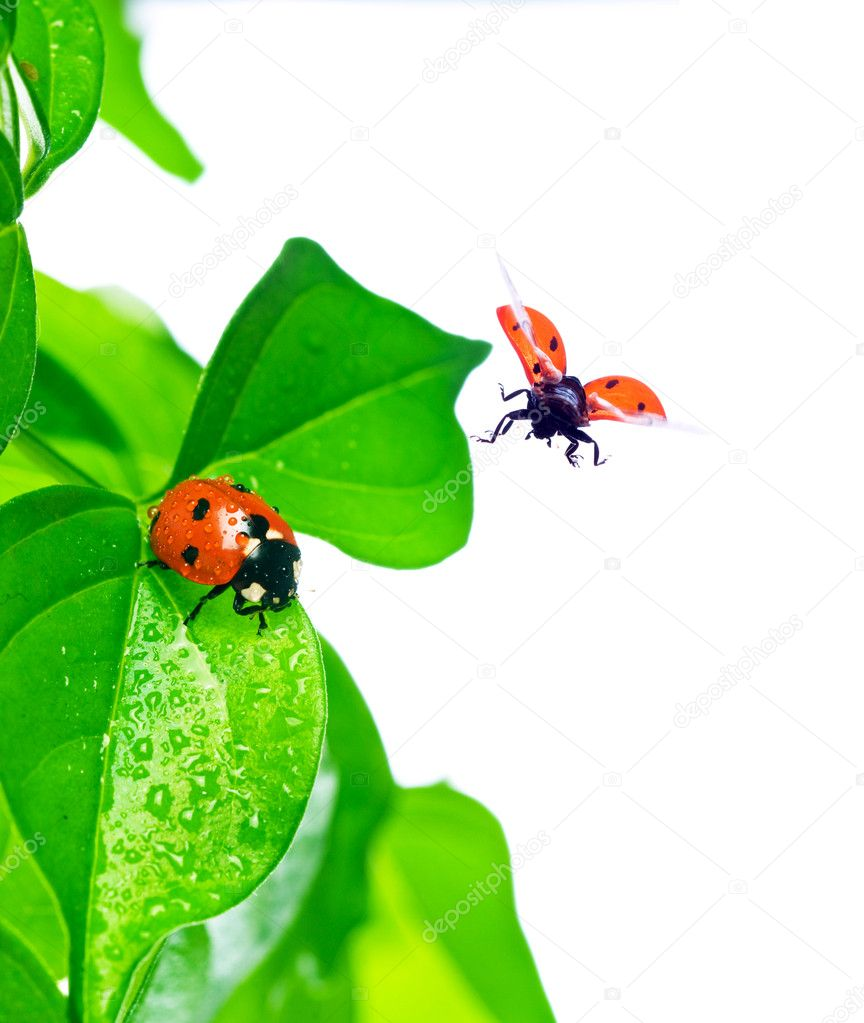 Ladybird on green leaf and drop  Stock Photo #2295828