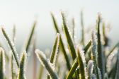 Frost fir branch — Stock Photo