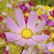 Cosmos flowers close up — Stock Photo #1595146