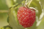 Raspberry macro — Stock Photo