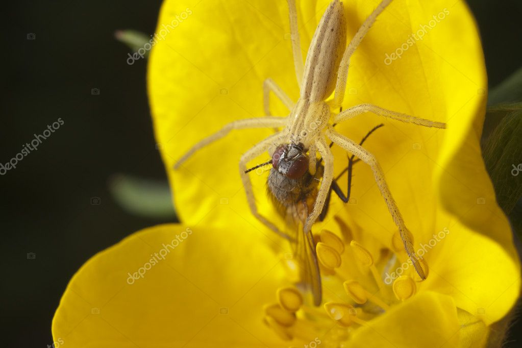 Spider killing fly on the flower — Stock Photo #1595170