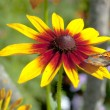Stock Photo: Yellow red chrysanthemum with butterfly