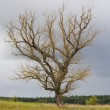 Stock Photo: Dead old tree