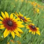 Yellow red chrysanthemum close up — Stock Photo