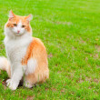 Stock Photo: Orange white cat portrait