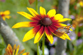 Yellow red chrysanthemum with butterfly — Stock Photo