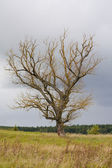 Dead old tree — Stock Photo