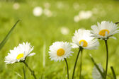 Four daisy close-up — Stock Photo