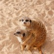 Meerkat family — Stock Photo