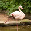 White flamingo — Stock Photo