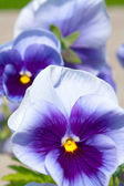 Three blue yellow white pansies — Stock Photo