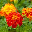 Marigold close up with water drops — Stock Photo