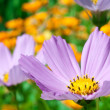 Cosmos flower close up — Stock Photo