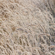 Stock Photo: Frost grass