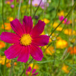 Cosmos flowers close up — Stock Photo #1632808