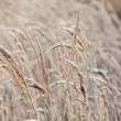 Stock Photo: Frost grass close up