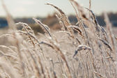Frost grass close up — Stock Photo