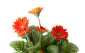Little red flowers — Stock Photo