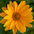 Stock Photo: Marigold close up