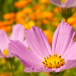 Cosmos flowers close up — Stock Photo