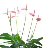 Anthurium white background — Stock Photo