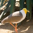 Masked lapwing — Stock Photo #2323931