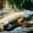 Orange iguana - Stock Photo