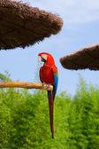 Greenwing Macaw — Stock Photo