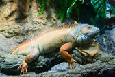 Orange iguana — Stock Photo