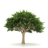 Tree isolated on a white background — ストック写真