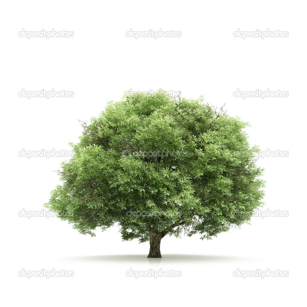 Tree isolated on a white background — Stock fotografie #1715086