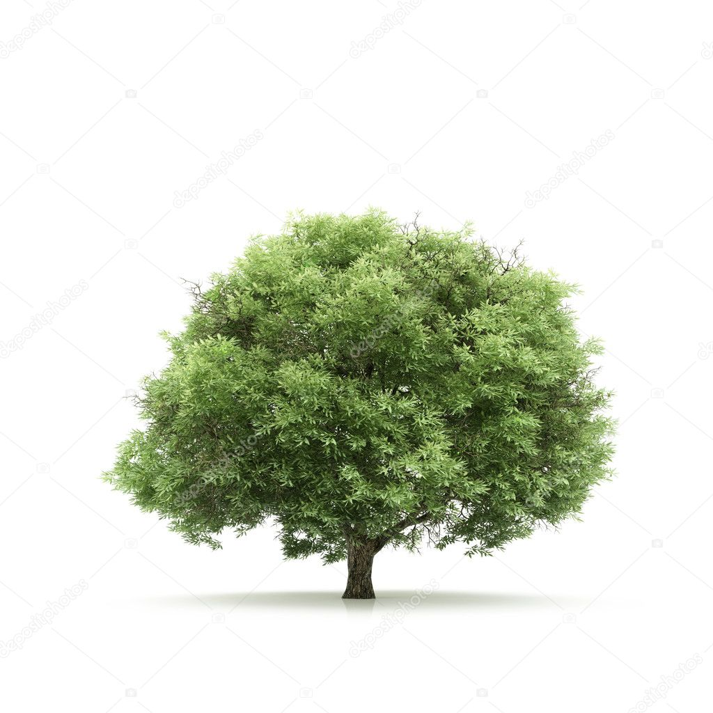Tree isolated on a white background  Photo #1715086