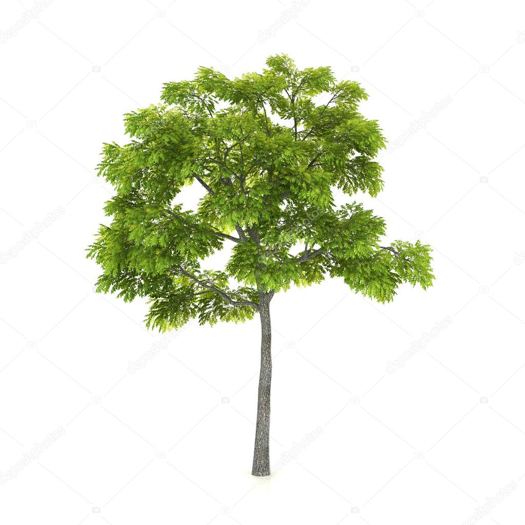 Tree isolated on a white background — Stock Photo #1715154