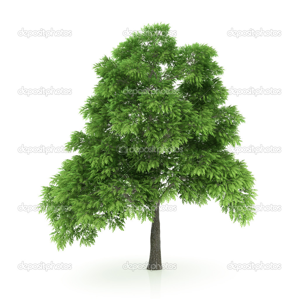 Tree isolated on a white background — Stock Photo #1715168