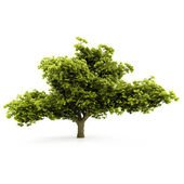 Tree isolated on a white background — Photo