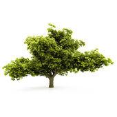 árvore isolada em um fundo branco — Foto Stock