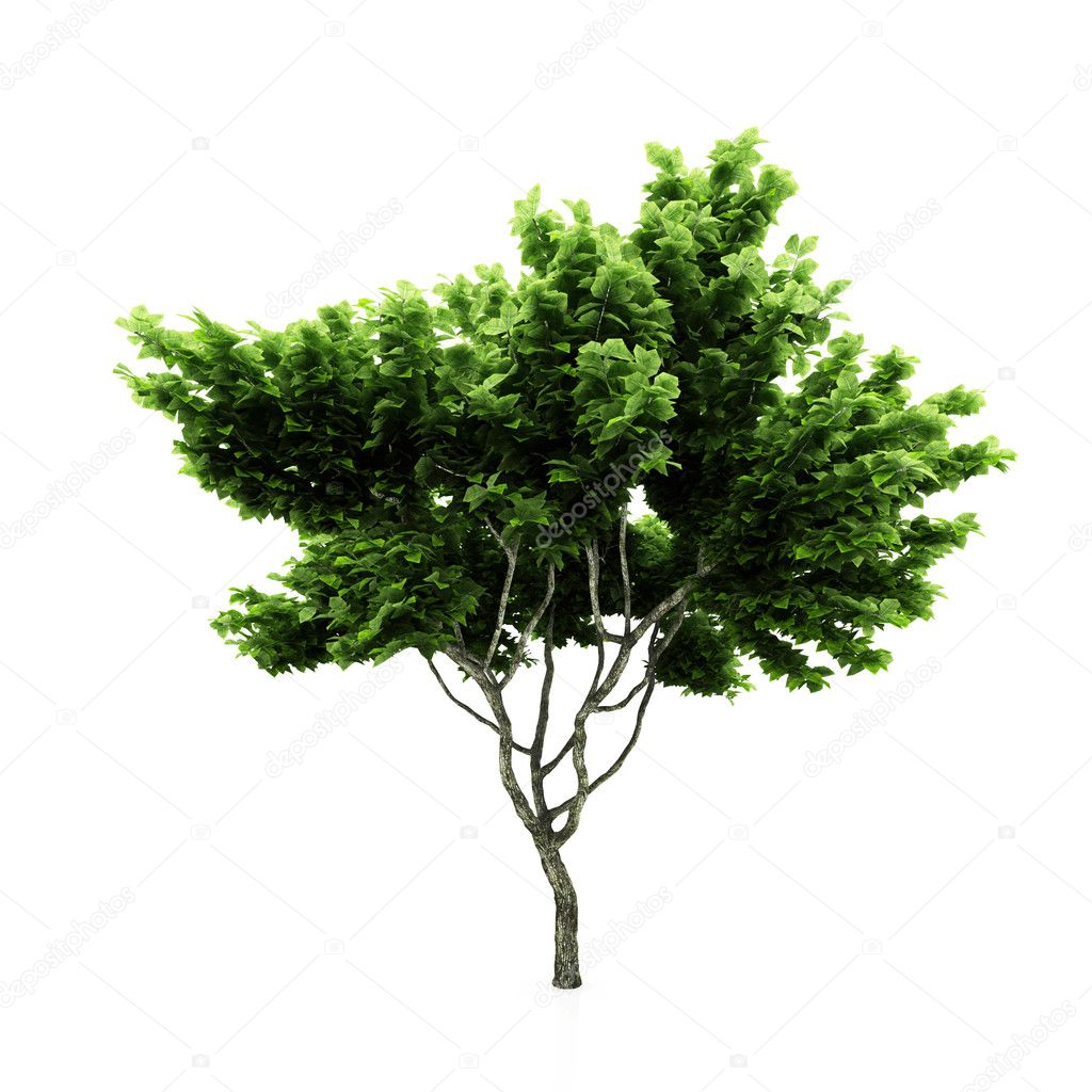 Tree isolated on a white background — Stock Photo #2364500