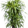 Palm plant in the flowerpot — Stock Photo
