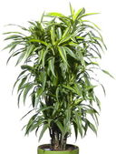 Palm plant in de bloempot — Stockfoto