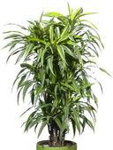 Palmier plante dans le pot de fleurs — Photo