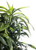白で隔離されるヤシ科の植物 — ストック写真