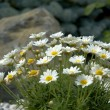 Daisies in the Rockery — Photo