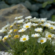 Daisies in the Rockery — Stock Photo