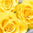 Beautiful yellow roses closeup — Stock Photo
