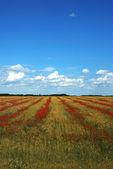 Campo de trigo y amapolas — Foto de Stock