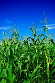 Corn plants over clear blue sky — Stock Photo