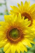 Słoneczniki — Zdjęcie stockowe