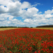 Panorama of wheat and poppies field — Stock Photo
