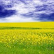 Green field with yellow flowers - Stock Photo
