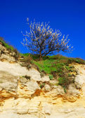 Blossoming tree on rock — Stock Photo
